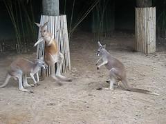 Tampa - Busch Gardens - Walkabout Way - Kangaroo Fight 2