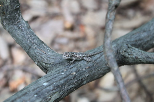 Bull Run Mountain - Lizard on Tree Bark (By Ryan Somma)