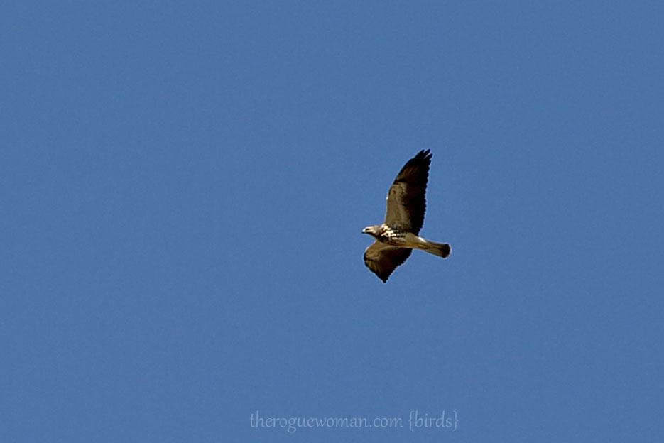 083112_03_bird_hawk_Swainsons