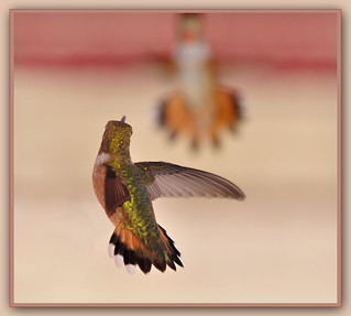 Rufous confrontation