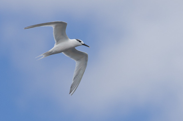sandwich tern in flight - Puerto del Carmen Marina