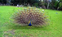 Peacock at Monsalvat, Eltham Victoria. Aus