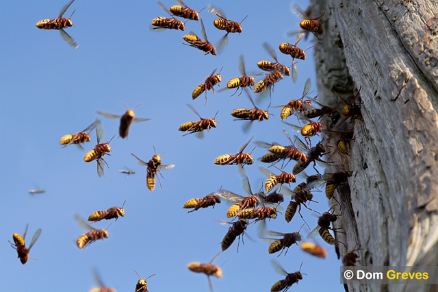 Hornets Come...