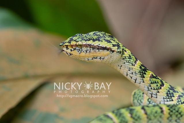 Wagler's Pit Viper (Tropidolaemus wagleri) - DSC_3855