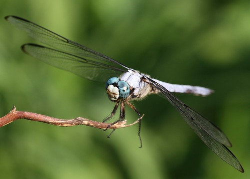 Great Blue Skimmer (Libellula vibrans) Male