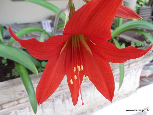 Lirio vermelho anunciando a primavera by @profjoao