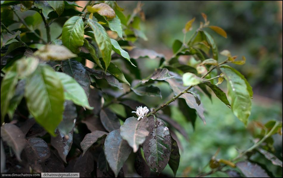 Как производят кофе из помета мангуста