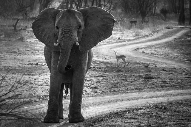Elephants - South Luangwa - Zambia