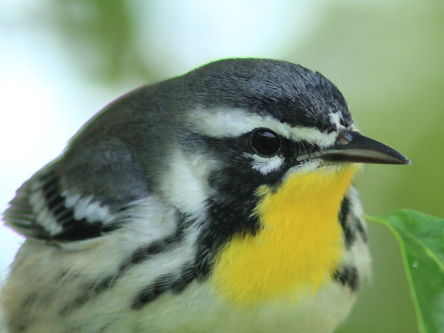 Yellow-throated Warbler 11-20120924