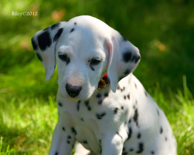 Dalmatian puppy | Flickr - Photo Sharing!