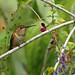 Small photo of Allen's Hummingbird (Juvenile)