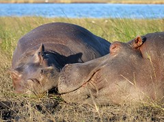 Hippos look so cuddly and peaceful
