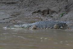 Krokodil am Kinabatangan River