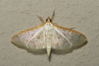 Crambid Moth (Palpita annulifer, Crambidae)