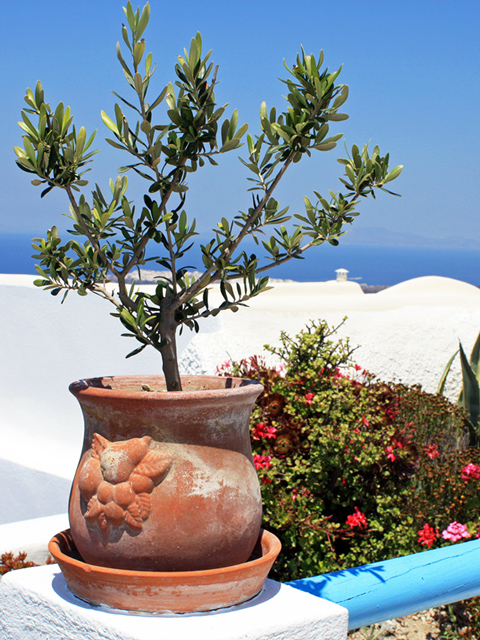 olive tree in a cute clay pot