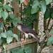 Small photo of Eurasian Sparrowhawk - Accipiter Nisus