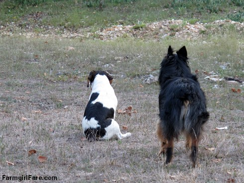 (23-8) Bert and Bear watching Daisy take off after an unseen potential threat - FarmgirlFare.com