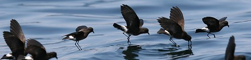 Eliots storm petrels Pelagic birding in Peru with Nature Expeditions 03