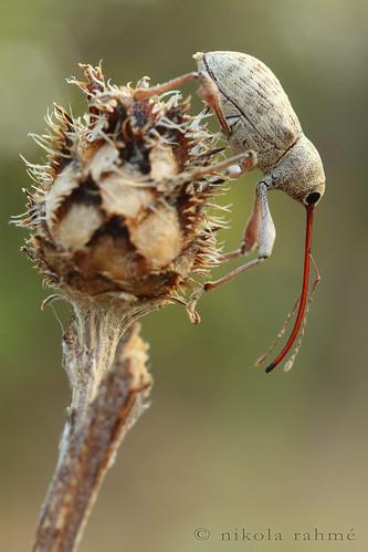 macro naturallight weevil coleoptera cablerelease curculionidae fieldshooting canoneos5dmarkii canonmpe65mmf28 berlebachminitripod