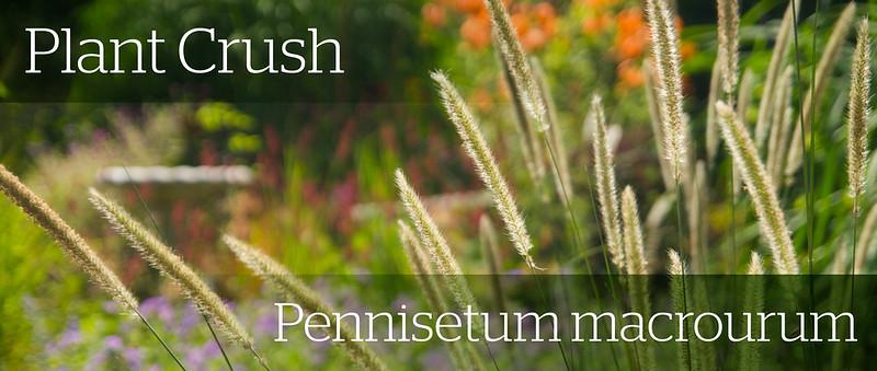 pennisetum macrourum header