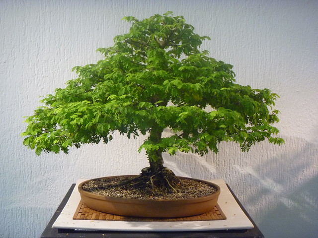 Expondrán en UNICACH arte bonsai y suiseki