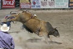 animal sports, rodeo, cattle-like mammal, bull, event, tradition, sports, bullfighting, bull riding,