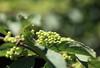 Photo:Beautyberry / Callicarpa dichotoma / 小紫(コムラサキ) By TANAKA Juuyoh (田中十洋)