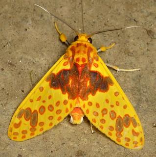 Tiger moth, Amaxia pulchra? Arctiinae