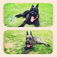 animal, dog, pet, mammal, schnauzer, miniature schnauzer, scottish terrier, terrier,