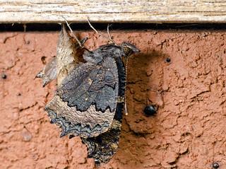 Small tortoiseshell butterfly newly emerged