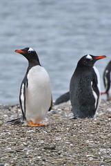 animal, penguin, flightless bird, fauna, king penguin, beak, bird, wildlife,