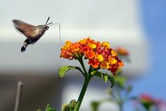 esfinge colibrí (Macroglossum stellatarum) sobre una flor de lantana (Lantana camara)