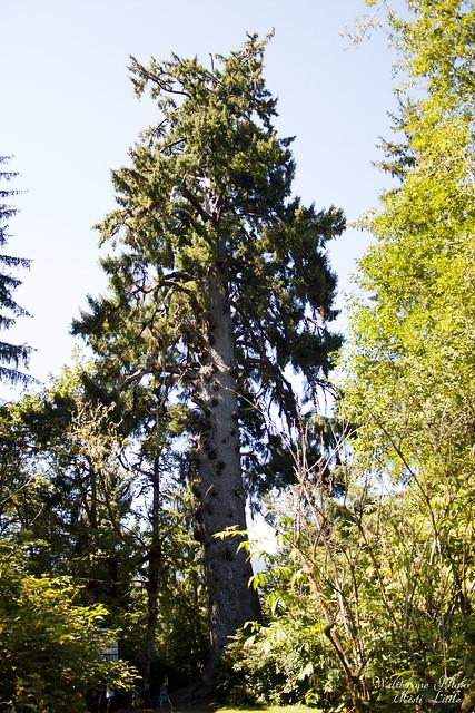 spruce1