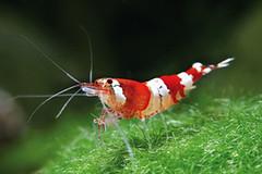 crystal-red-garnaal