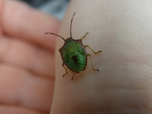 Small shield bug