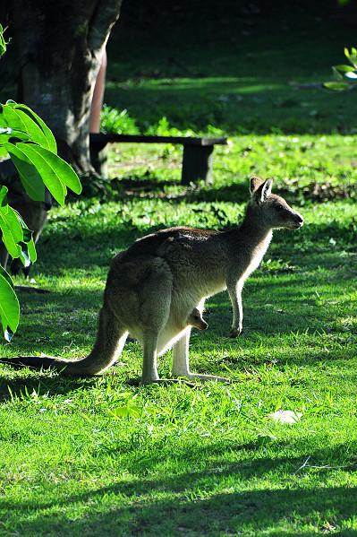 Wild Kangaroos on Stradbroke Island