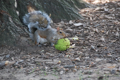 Squirrel Eating Giant Seed