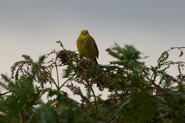 Yellowhammer, Bryn-bach-Common