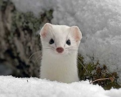 arctic fox(0.0), polecat(0.0), animal(1.0), weasel(1.0), winter(1.0), white(1.0), snow(1.0), mustelidae(1.0), mammal(1.0), fauna(1.0), whiskers(1.0), mink(1.0), wildlife(1.0), ferret(1.0),