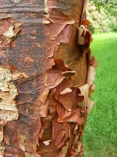 Acer griseum chinese paperbark