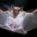 Lesser Mouse-eared Bat (Roy Taylor)