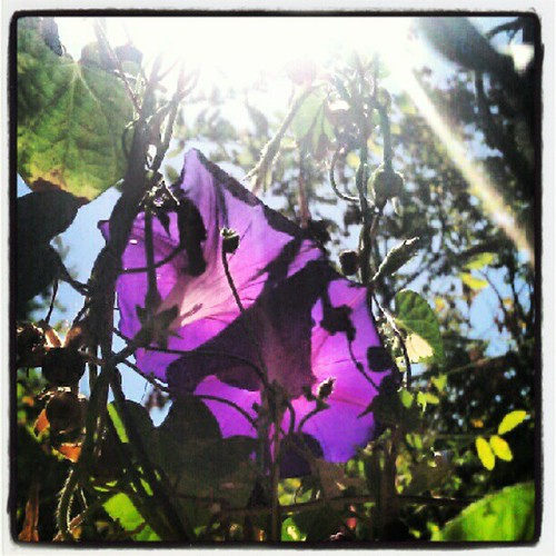 #Morningglories #garden #sun #sunbeams #light #seethrough #suburbanlife #homestead. #purple
