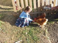 Feeding the hens.