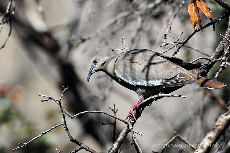 090112_05_bird_ground_whiteWingedDove02