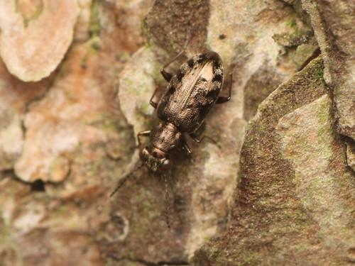 メダカチビカワゴミムシ