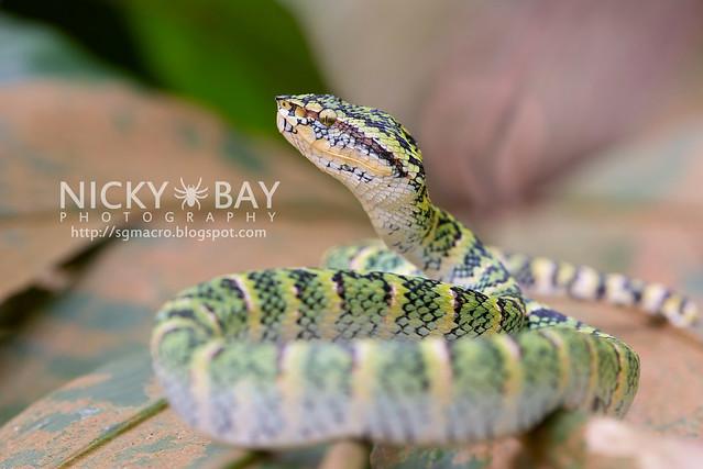 Wagler's Pit Viper (Tropidolaemus wagleri) - DSC_3866