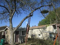Roy trims a walnut tree
