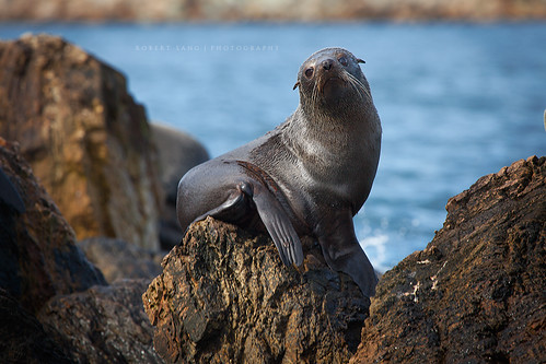 New Zealand Fur Seal (Arctocephalus forsteri), South Australia