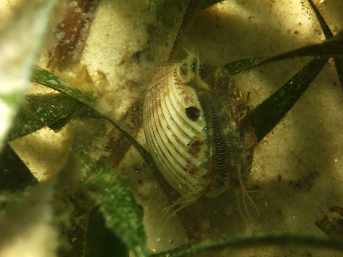 Scallop in St. Joseph Bay