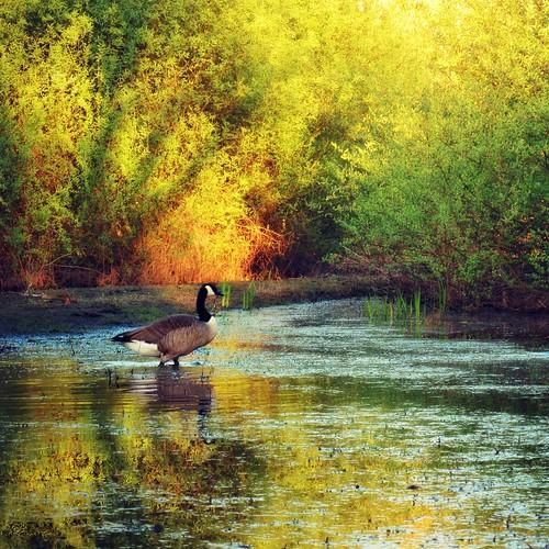 sunset sun water germany soleil geese spring wasser sonnenuntergang hessen flood gans powershot april avril canadageese frühling hesse kanadagans heppenheim naturesfinest bergstrasse überflutung südhessen g10 abigfave anawesomeshot bruchsee coth5 bphotor blinkagain
